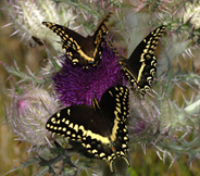 Palamedes Swallowtails in flight