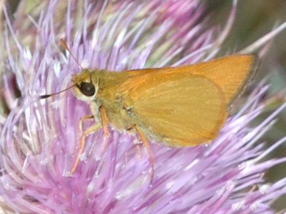 Delaware Skipper, Shark Valley, April 6 2013