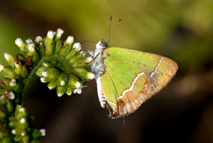 Silver-banded Hairstreak