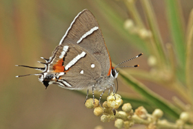 Bartrams Scrub-Hairstreak