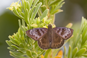 Florida Duskywing female